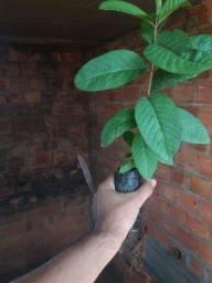 Mudas de Goiaba (Psidium guajava)