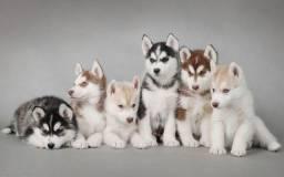 Husky filhotes branco, preto e branco