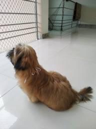 Cachorro Shithzu