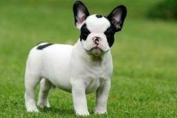 Bulldog fofinhos e lindos