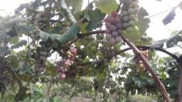 Uvas niagria
