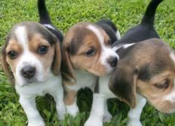 Beagle macho e fêmea 13 polegadas legítimos