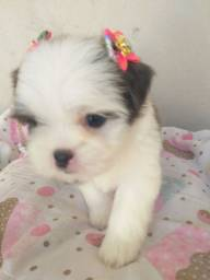 Mini Princesa Shih Tzu Cinza , Branca e Olhos Claros