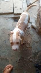 Pit-bull American terrier