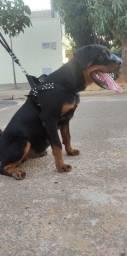 Vendo Rottweiler Fêmea 07 Meses Filhotona Passo Cartão