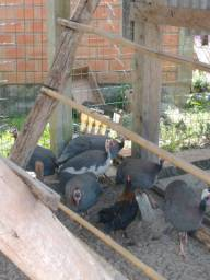 Galinha de angola