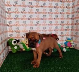 Boxer a venda no Pet da Madre londrina