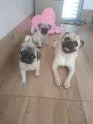 Canil pets Oliveira disponibiliza casal de Pug