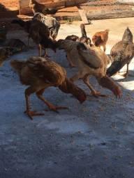 Vendo essas galinhas e alguns franguinhos