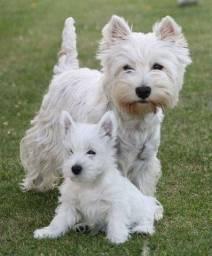 Título do anúncio: West Terrier Machos e Femeas disponiveis