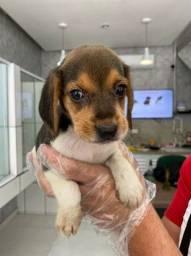 Marivilhosos filhotinhos de Beagle disponíveis