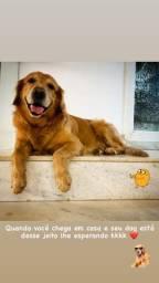 Cachorro Golden Retriever macho para cobertura
