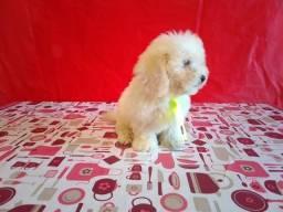 Poodle micro toy machinho