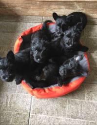 Filhotes Scottish Terrier
