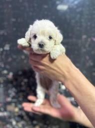 Título do anúncio: Poodle Filhotes aproximadamente 60 dias(clínica em loja)