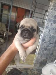 Filhote Pug Macho