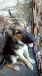 Vendo uma cachorra pastor alemão ela tem 4meses