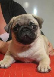 Pug , canil ps