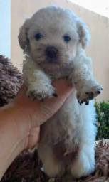 Vendo poodle toy macho