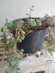 Título do anúncio: Várias plantas, suculentas cactos