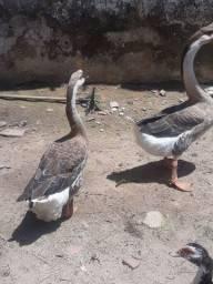 Casal de ganso africano Leia o anúncio abaixo