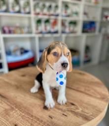Título do anúncio: Beagle filhote machinho em até 12x sem juros!!