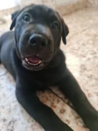 Título do anúncio: Labrador fêmea