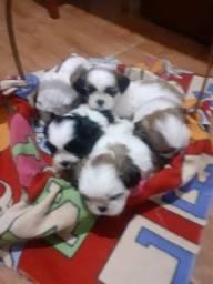 Lindos bebês Shih tzu para alegrar seu lar