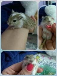 Filhotes de Gerbil - Esquilo da Mangolia