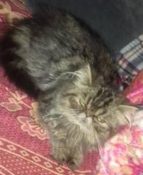 Gato Persa Tabby