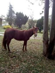 Vendo cavalo Qm puro mas sem papel valor 1500