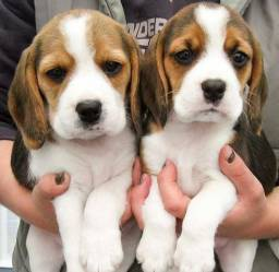 Filhotes de Beagle machos e fêmeas