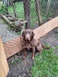 Labrador para adoção responsável!