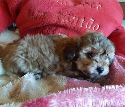 Poodle miniatura macho