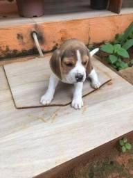 Beagle inglês/ @canilcanaa/ AM
