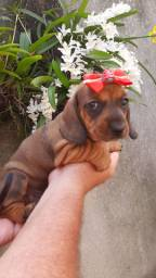 Salsichinha dachshund  femea filhote disponível
