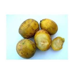 Mudas frutífera - caja manga ou cajarana anã