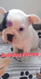 Bulldog frances filhotes