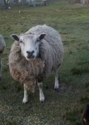 Ovelhas a venda