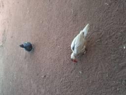 Patos (leia a descrição)