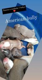 Filhotes American bully