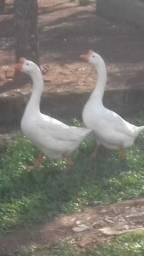 Filhotes gansos sinaleiros chineses brancos