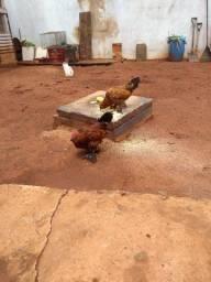 vendo casal de galizés bergian