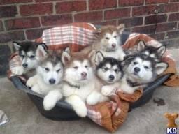 Husky siberiano filhotinhos a pronta entrega garanta já seu bebê