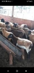 Título do anúncio: Ovelhas e carneiro