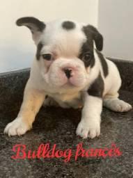 Lindos Bulldog Francês disponíveis