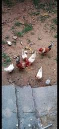 Título do anúncio: Galo galinha garlinzer