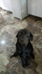 Título do anúncio: Labrador. Com 10 meses todas as vacinas