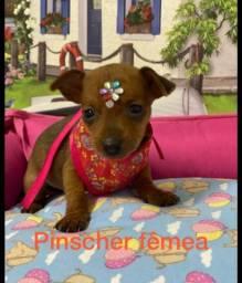 Pinscher zerinho promoção imperdível de filhotes!!