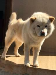 Cachorro Chau chau